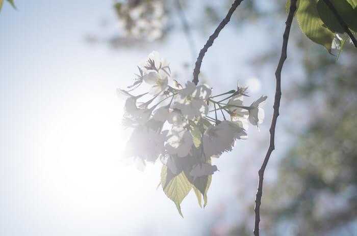 いろんな種類の桜を長く楽しめる春の新宿御苑を散策