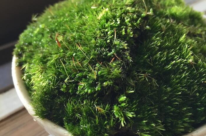 そこらに生えてる苔で苔鉢を作ってみた