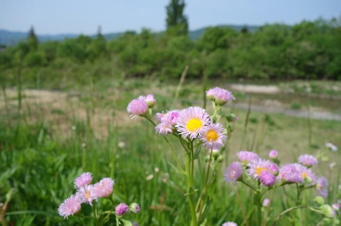 日々の散歩に彩りを。花検索アプリ「花しらべ」の使い方や精度を購入レビュー