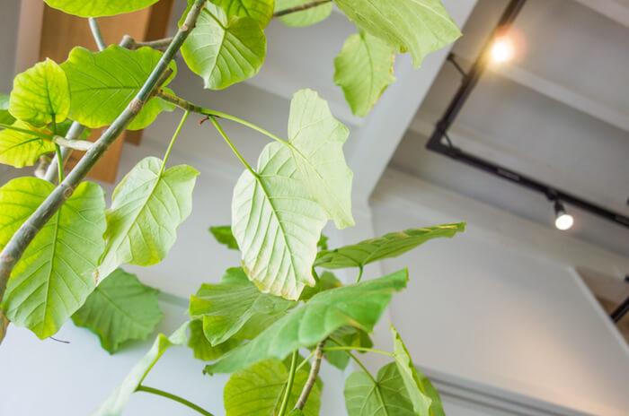 ゴムの木(フィカス属)は挿し木で簡単に無限増殖が可能